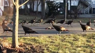 Why Are These Turkeys Circling Around A Dead Cat?