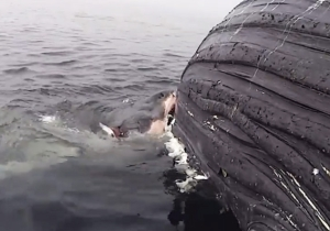 The 'Homer Simpson' Of Great White Sharks Tried To Eat An Entire Frigging Humpback Whale