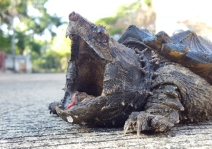Fans Of Turtle Murder Will No Longer Be Able To Hunt Snapping Turtles In Ontario