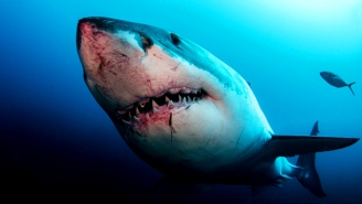 Great White Shark Sightings Are Out Of Control, But Why?