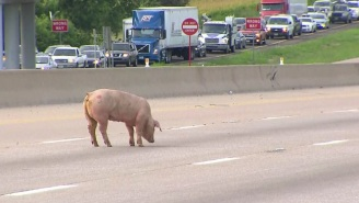 The Internet Is Having Fun Watching Texas Cops Try To Round Up Loose Pigs On The Highway