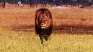 Xanda, The 6-Year-Old Son Of Cecil The Lion, Was Shot And Killed By A Big Game Hunter In Zimbabwe