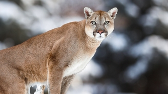 The Eastern Cougar Is Officially Extinct