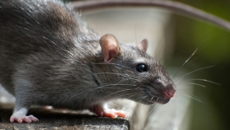 Rats Are Finally Off The Hook For Causing The Black Plague