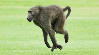 A Baboon Raced Around The San Antonio Airport Tarmac In A Desperate Bid For Freedom