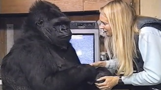 The Internet Remembers Koko, The Sign Language Gorilla Who Has Died At 46