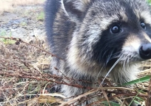 These Drunk Raccoons Partied So Hard It Triggered A Rabies Scare In West Virginia