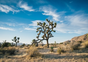 Joshua Tree May Feel The Effects Of Government Shutdown For 300 Years