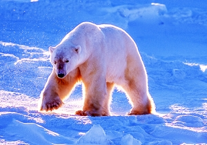 Polar Bears Are Invading A Remote Archipelago In Search of Food
