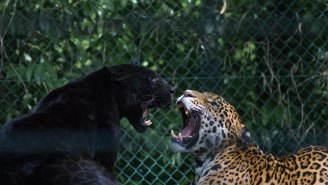 A Jaguar Mauled A Woman Trying To Get An Instagram Selfie At A Zoo