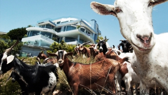 In Southern California Goats Are A Vital Form Of Fire Prevention
