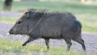 Javelina Running Is The Internet's New Favorite Music Meme