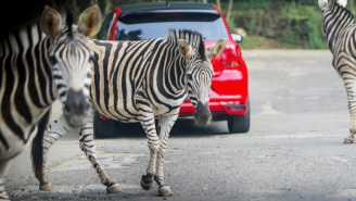 A Washington D.C. Congresswoman Put Out An Official Statement Denying That She Released The Six Zebras That Are Currently Running Amok In The Suburbs